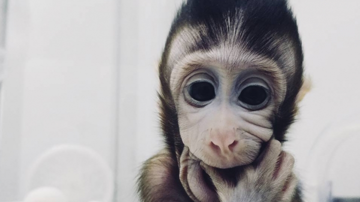 Primeiro macaco clonado do mundo nasceu na China